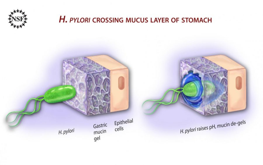A+visual+of+the+bacterium%2C+H.+Pylori%2C+and+how+it+infiltrates+the+body+and+infects+it.